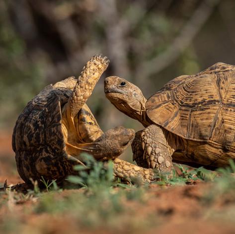 Tortoise on Greater Kuduland Safaris
