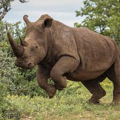 Rhino on Greater Kuduland Safaris