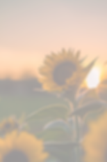 sunflower_edited.png