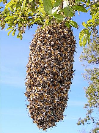 A swarm of honeybees