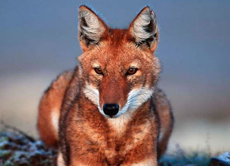 The endemic red wolf os Ethiopia