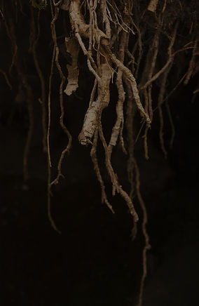 Close%20up%20of%20roots%20of%20tree%20wi