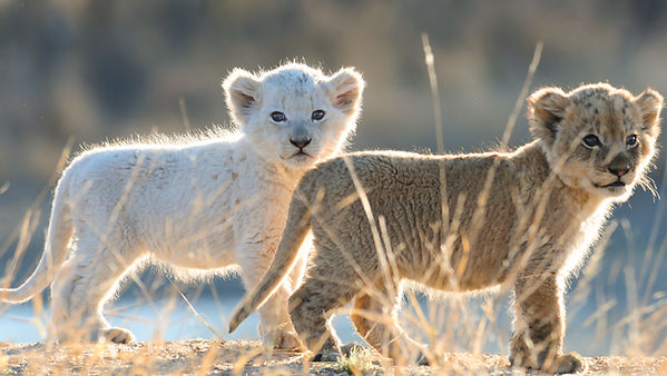 White lion cub with litter mate, South Africa