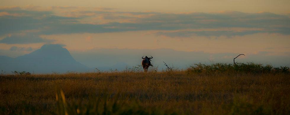 Wildebeest walking away-3.jpg