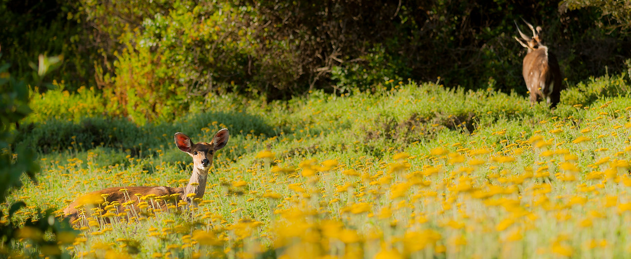 Bushbuck, South Africa