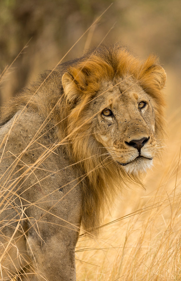 Male lion watches us