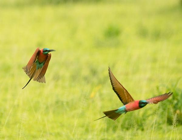 Bee-eaters-6.jpg