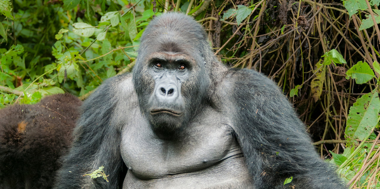 Silverback Eastern Lowland Gorilla, D R Congo