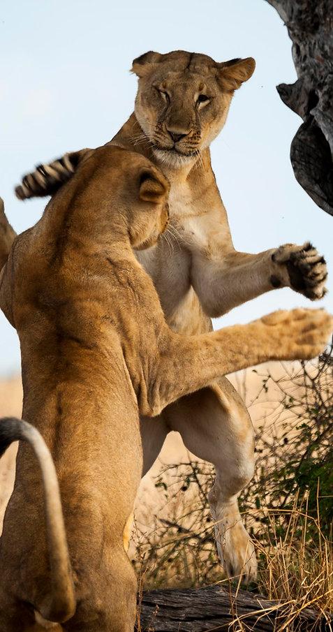 Lions fighting , Tanzania
