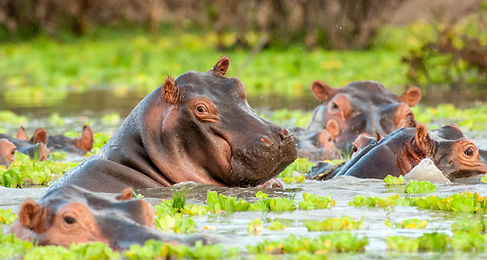 hippo in rain-8523.jpg