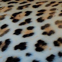 Leopard skin-4479.jpg