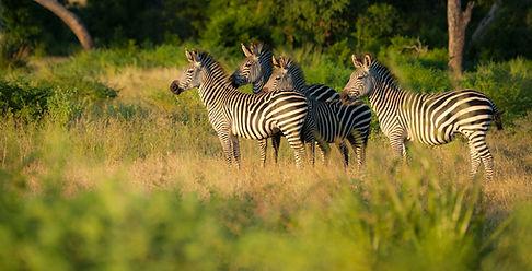Zebra left-3.jpg