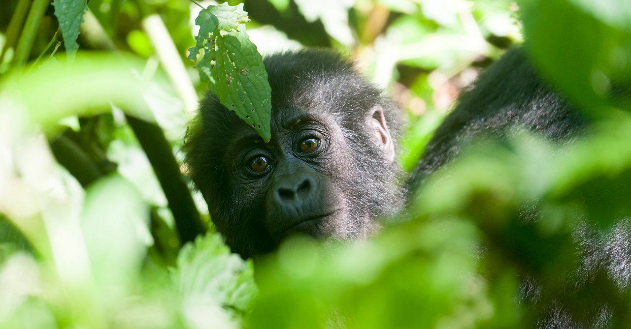 Gorilla baby, Uganda