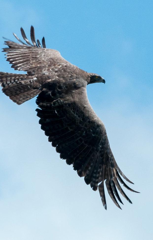 Martial Eagle, Tanzania