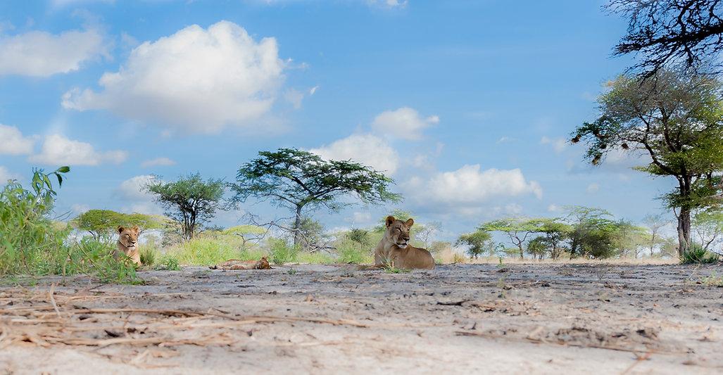 Lions, Selous GR, Tanzania