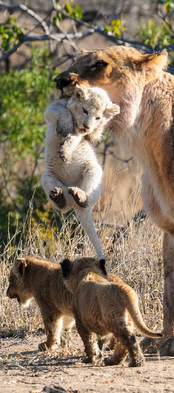 Lioness and her white lion cub, South Africa