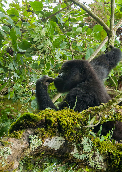 Eastern Lowland Gorilla, D R Cogo
