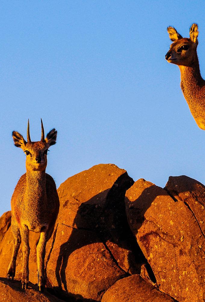 Klipspringer Antelope, South Africa