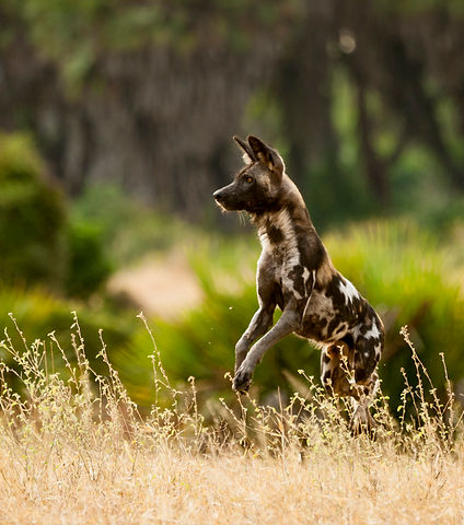 Africa Wild Dog (Painted Wolf) Tanzania