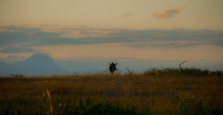 WIldebeest, Tanzania