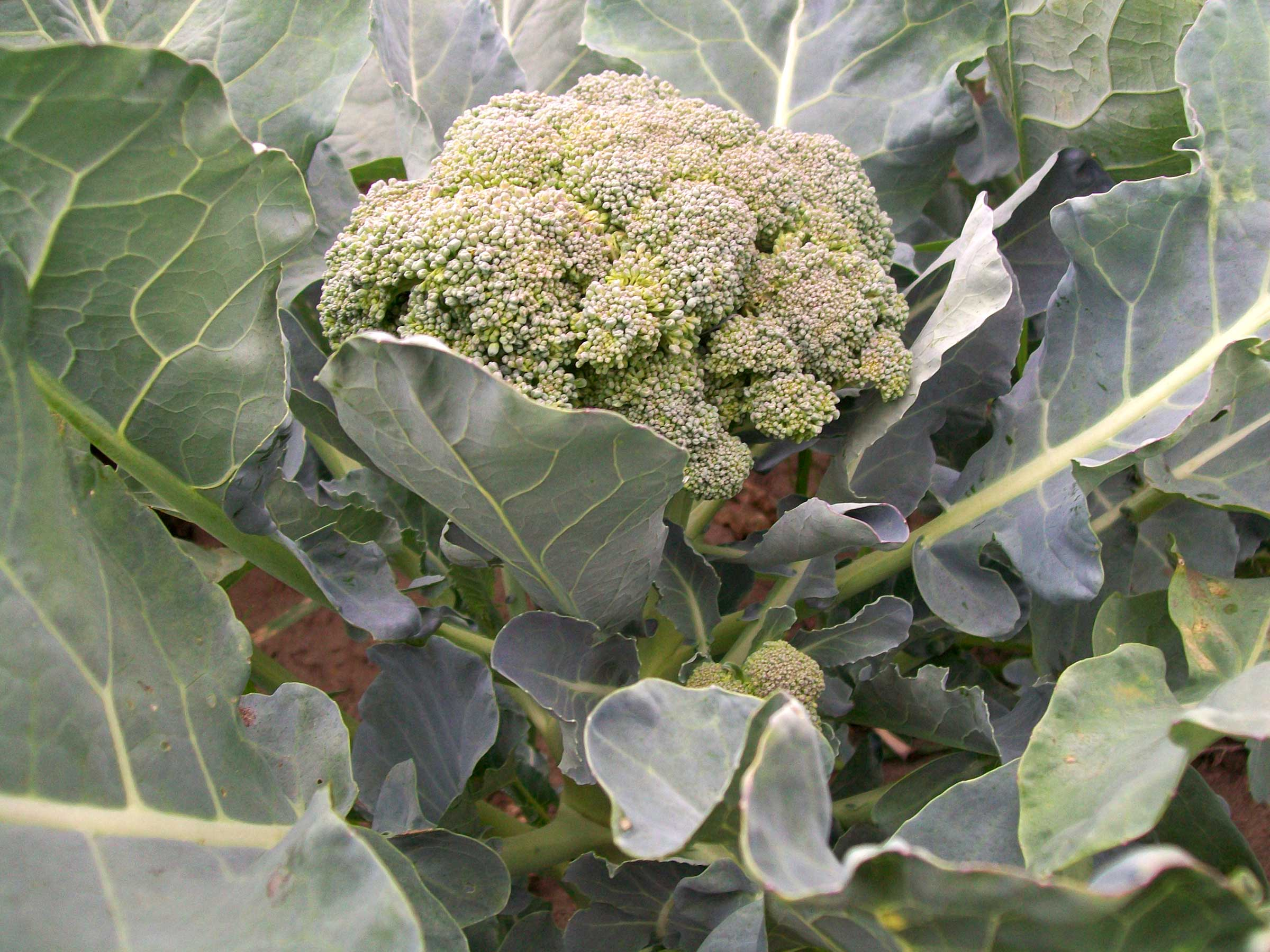 open pollinated broccoli