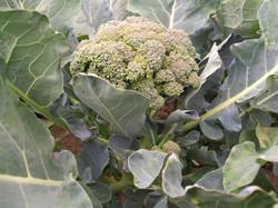 open pollinated broccoli