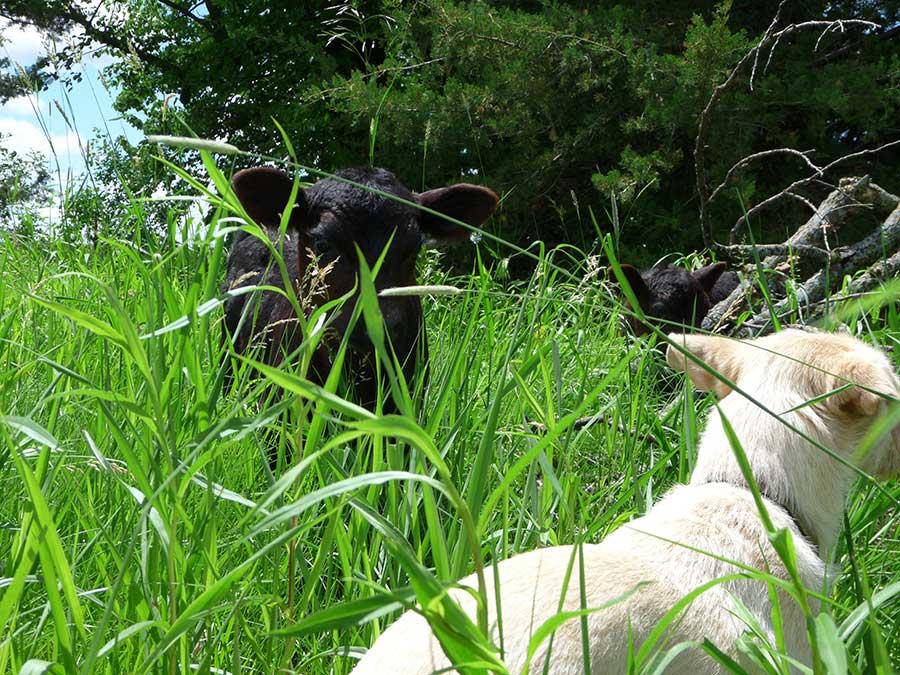 Calves & Dogs Social Time