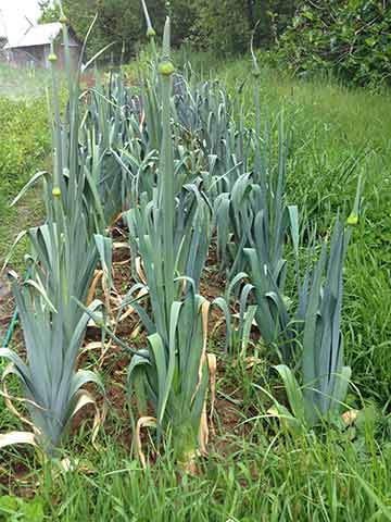 Leek selection for seed