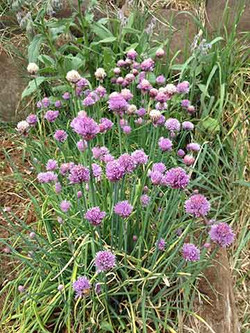 chives for seed