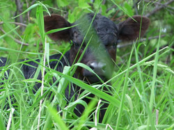 One Handsome Calf