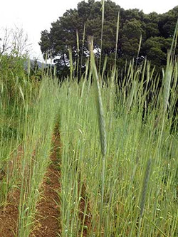 rye for seed stock