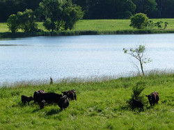 Cows in West Pasture