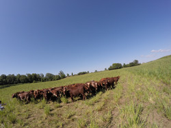 Pastured Beef