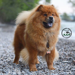 Beautiful Lea brightens up our day!✌️️❤️ #HoundonRaw & #Healthy 👌💪 #HappyMonday #Chowchow _Owner_