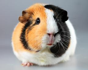 guinae-pig.png