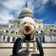 Cora Rose poodle dog  Washington