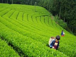 茶畑-06.jpg