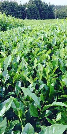 茶畑-05.jpg