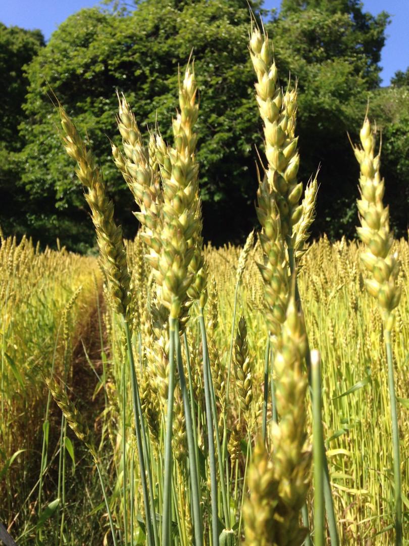 麦の穂.jpg