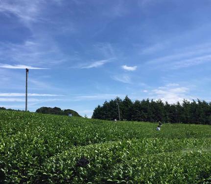 茶畑-1.jpg