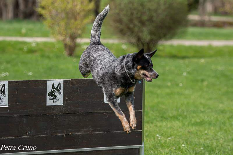 australian cattle dog zucht baden wü