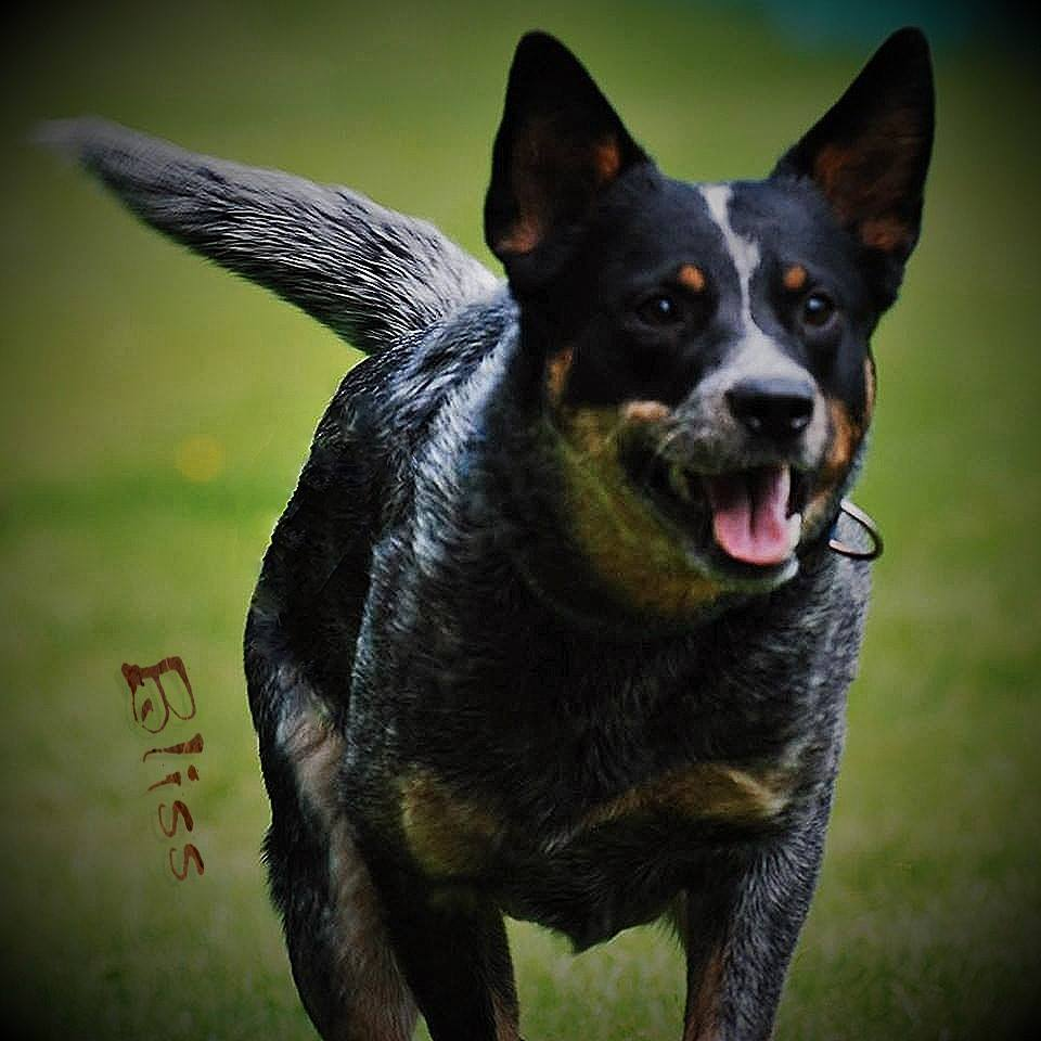 australian cattle dog zuechter baden