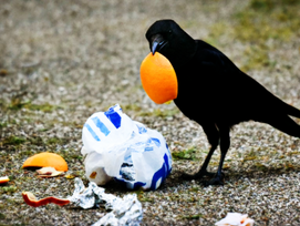 Conditioning Crows to… Pick Up Trash?