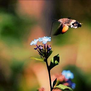 Papillon%20Colibri%20-%20Humming%20Bird%