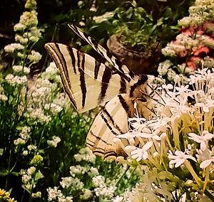 Papillon%20Machaon%20Rare%20-%20Scarce%2