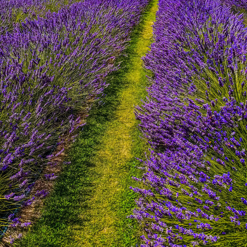 Lavender Fields 2.jpg