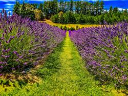 Lavender Fields 1