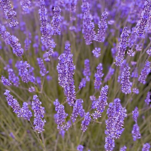 Lavender Close up.jpg