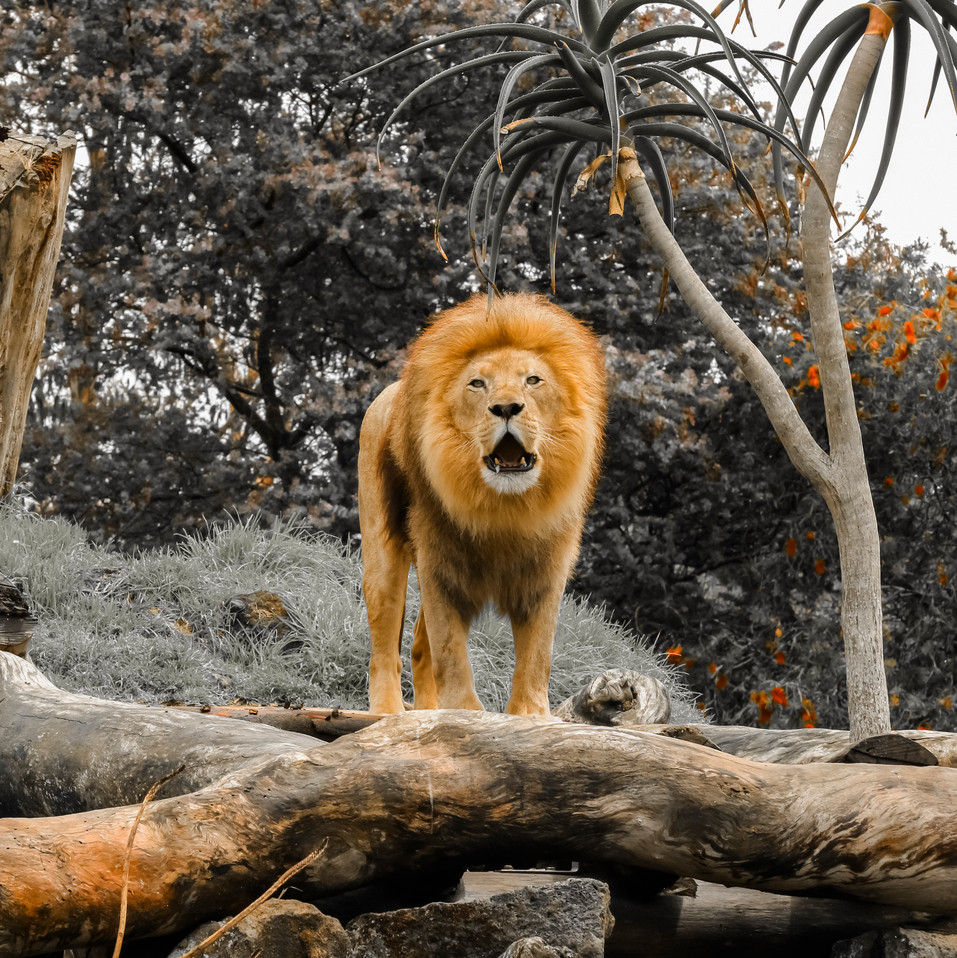 Lion Guarding