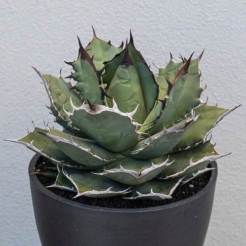 Agave Titanota Selected